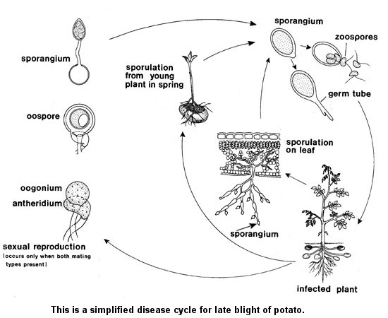 phytophthora infestans life history  u0026 reproduction