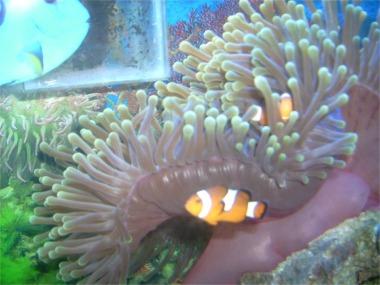 Adaptation for Clown fish adaptations