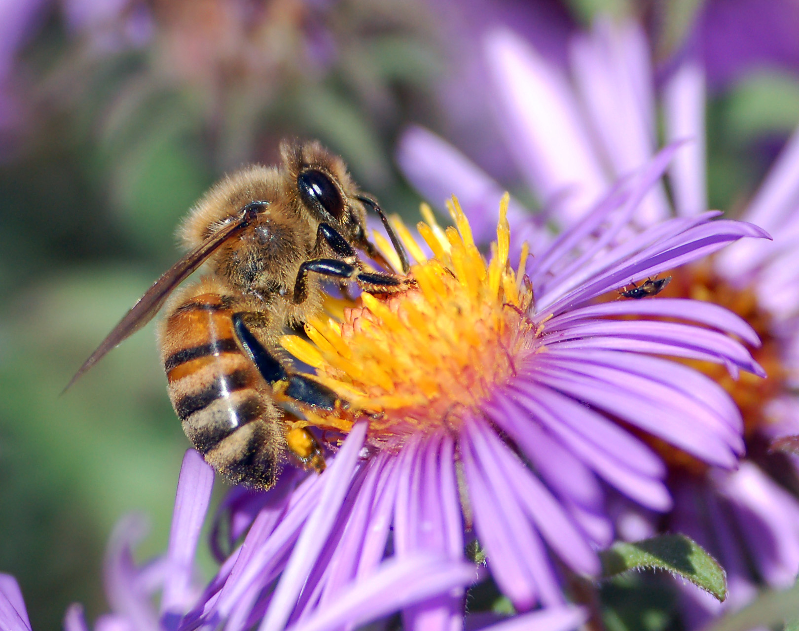africanized honey bees and european relationship