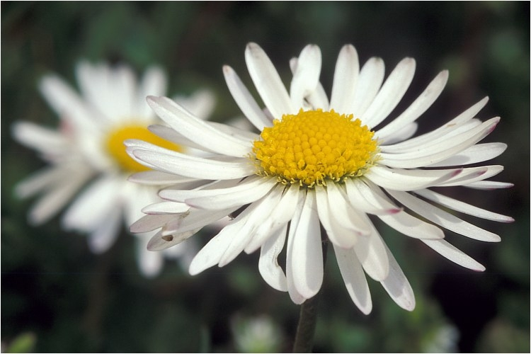 the english daisy, Beautiful flower