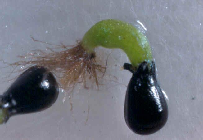 this is the life rh bioweb uwlax edu venus flytrap life cycle diagram Venus Fly Trap Cells Are Working Double