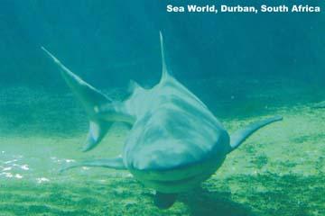 Sharks Adaptations