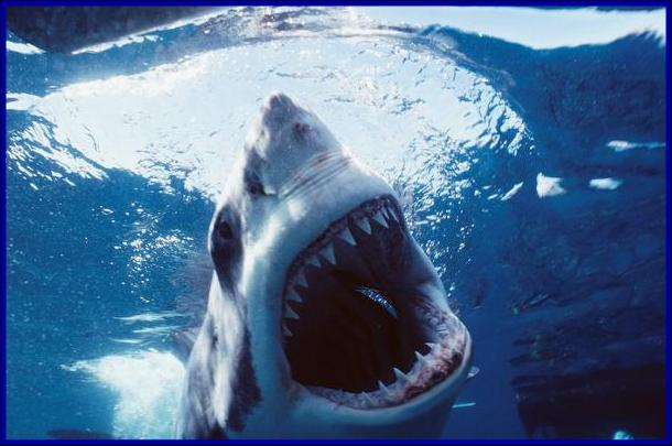 The Great White Shark: Carcharodon carcharias