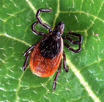 http://bioweb.uwlax.edu/bio203/s2008/clarin_bria/Images/deer-tick.jpg