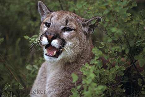 external image Cougar%20teeth.jpg