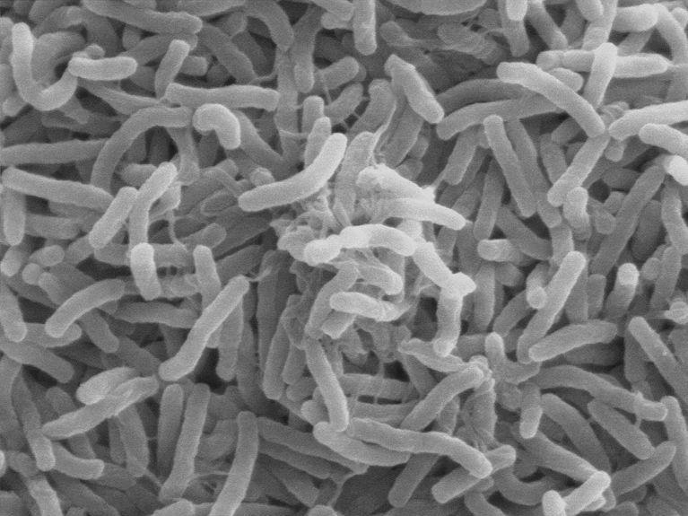 Image of vibrio cholerae bacteria which infect the digestive system