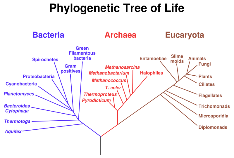 Tree of life there are 3 domains bacteria archea and eukarya bacteria