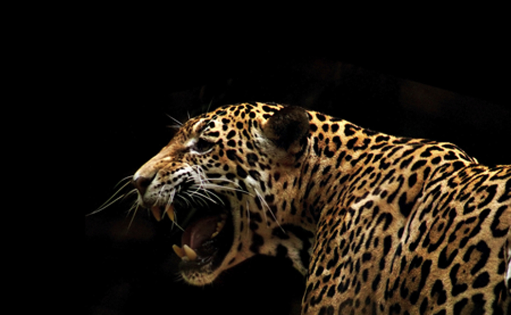 the Leopard panthera pardus