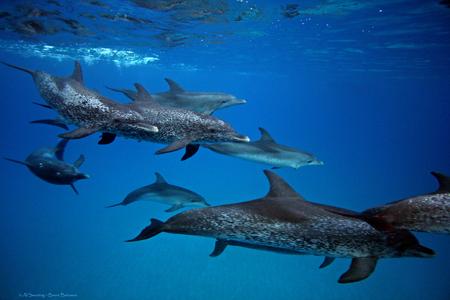.::Delfín manchado Tropical::. Pod%203