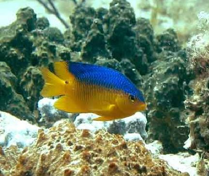 top wallpapers of animal yellow damselfish in ocean