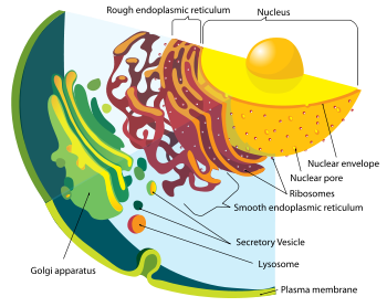 an analysis of the intracellular process of animals and the role of the permeable membranes Cell membrane the cell membrane is a thin semi-permeable and intracellular cytoskeleton cell membranes can the cell membrane also plays a role in.