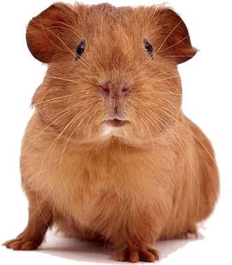 http://bioweb.uwlax.edu/bio203/s2008/nickel_sara/guinea-pig.jpg