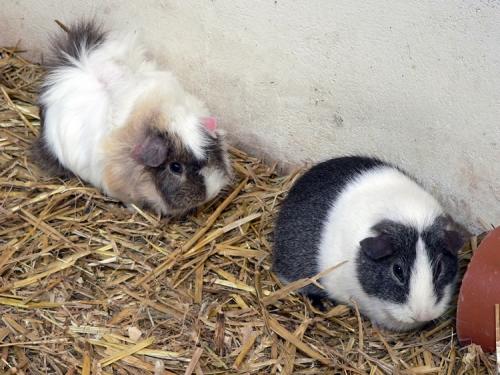 Guinea Pig Gestation
