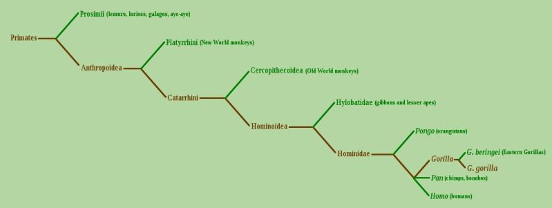 Chimpanzee Taxonomy Pan Chimpanzee