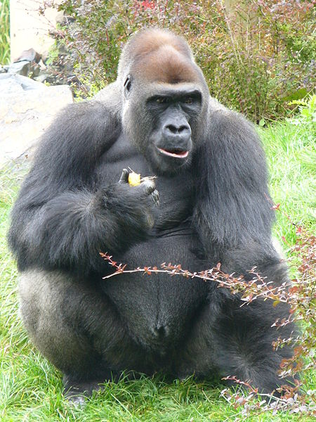 Gorillas Eating Western gorilla eating fruit