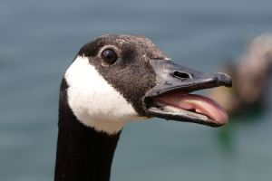 canadian goose interesting facts
