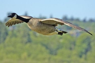 Photo of Canadian goose flying taken by Alan D. Wilson