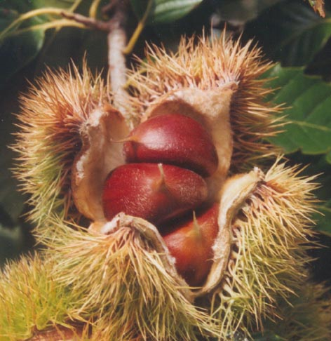 Chestnut Seed