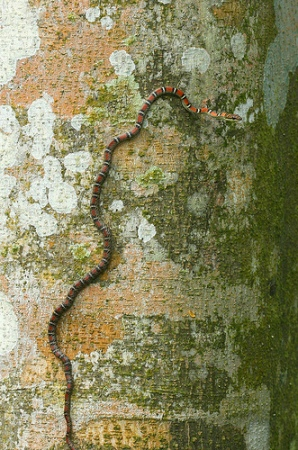 Twin Barred Tree Snake Twin-Barred tree Snake...