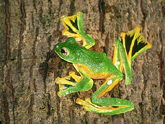 http://bioweb.uwlax.edu/bio203/s2009/houk_step/wallaces-flying-frog.jpg