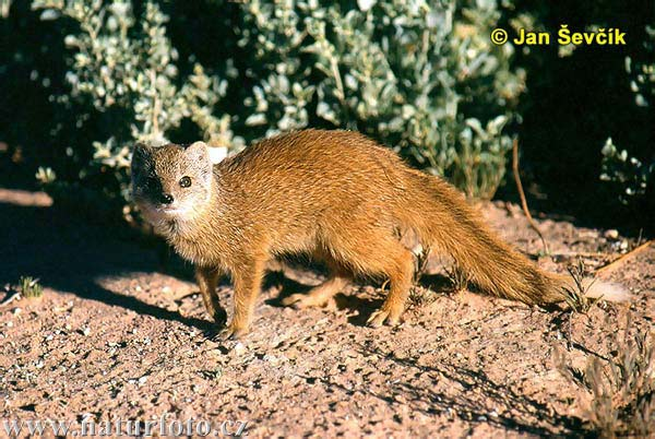 Mongoose - Source - http://bioweb.uwlax.edu/bio203/s2009/kreul_kyle/images/yellow-mongoose--cynictis-penicillata.jpg