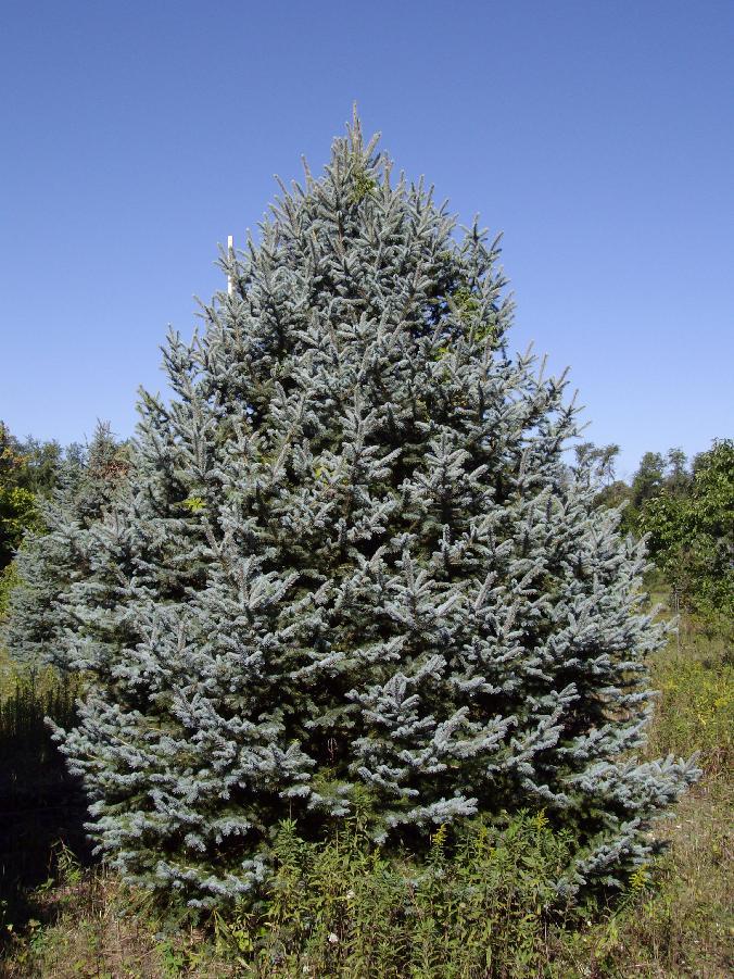 676_Blue_Spruce%5B1%5D.jpg