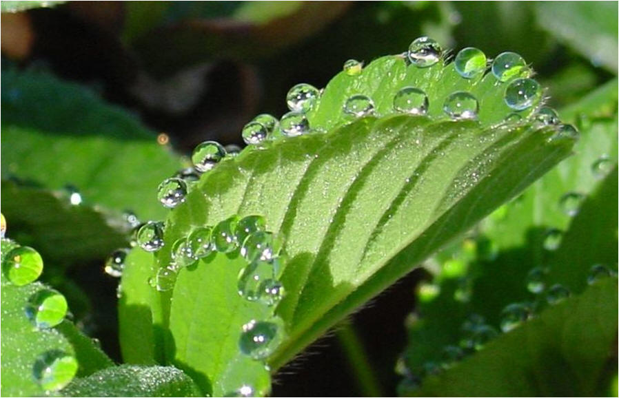 Adhesion And Cohesion. Water evaporating from leaves