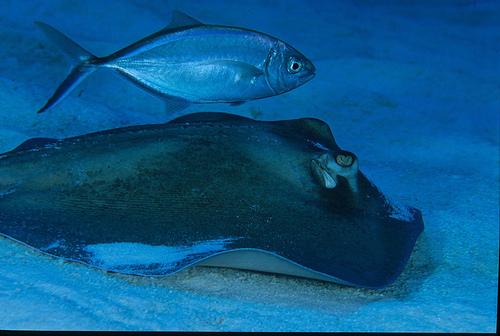 Hammerhead Shark Eating Stingray