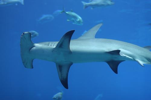 Hammerhead shark eating people - photo#14