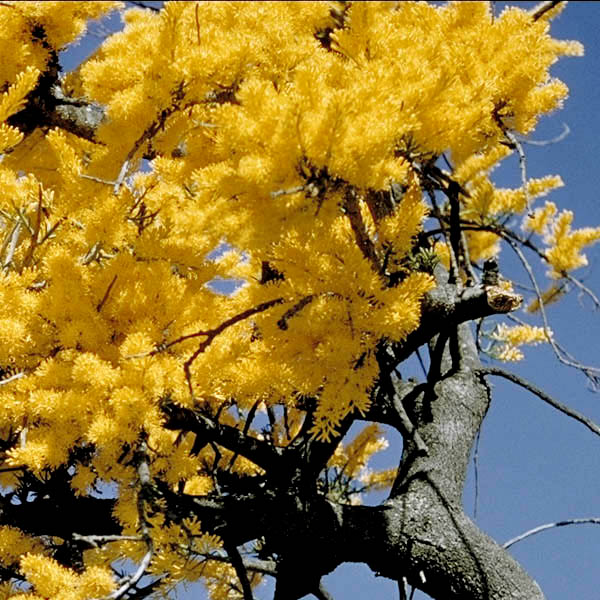 Growing Australian Native Plants: WA Christmas Tree (Nuytsia Floribunda