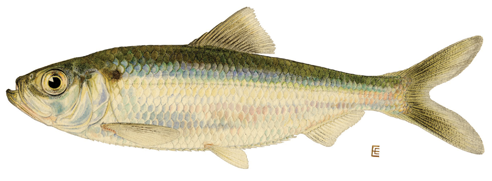 Chinook salmon oncorhynchus ts for Small pond fish types