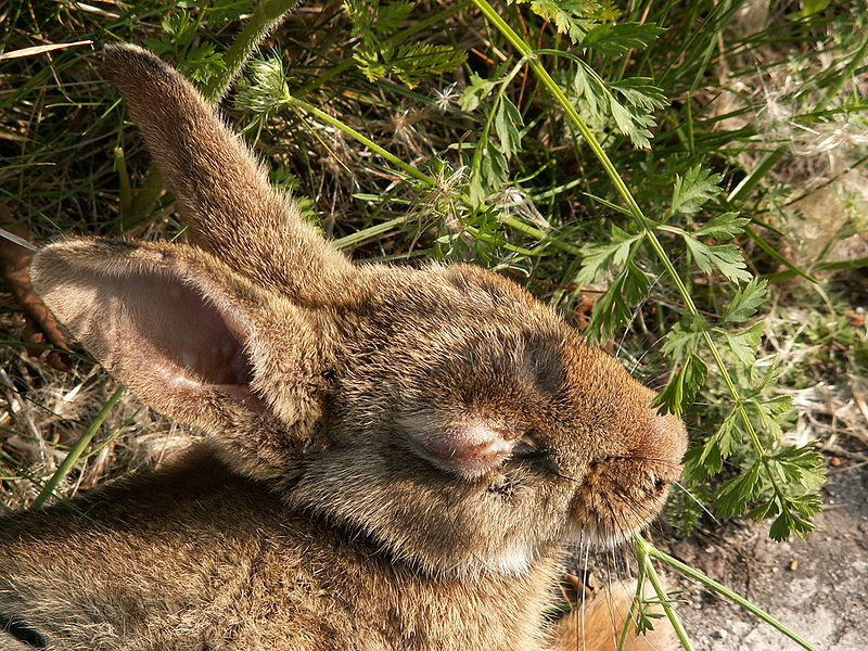 rabbits with ringworm