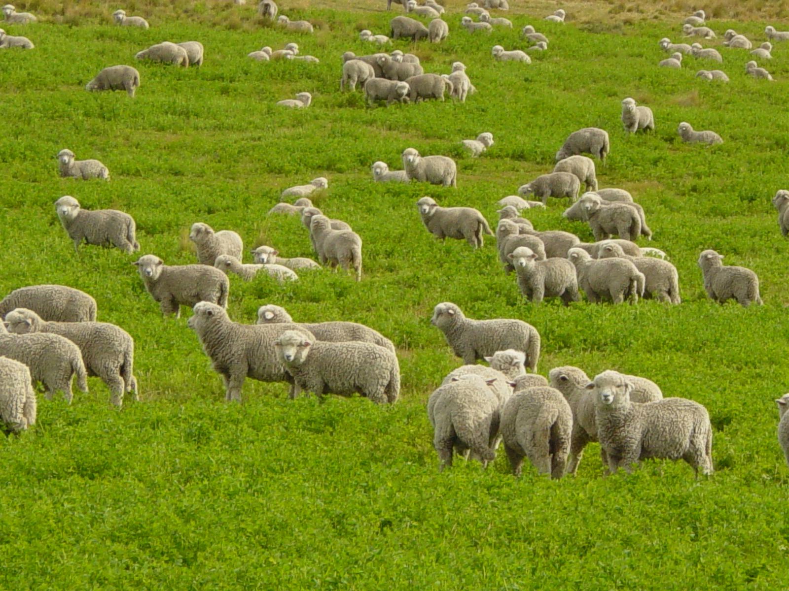 Flock Of Sheep Courtesy Wikimedia Commons