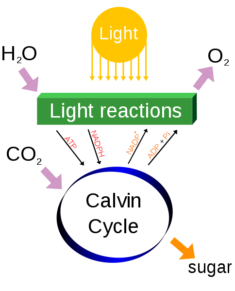 an overview of the basics of photosynthesis in plant life Learn how plants make food using photosynthesis and how leaves adapt to do  this with bbc bitesize ks3  almost all life on earth depends upon this process.
