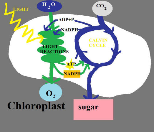 photosynthesis cycle. Two cycles occur making up photosynthesis. The first cycle is known as the