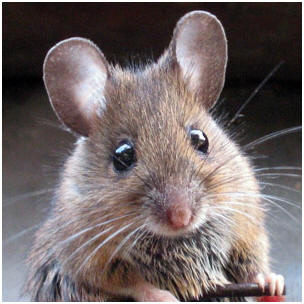 Of rodent that is more commonly known as a house mouse this critter s