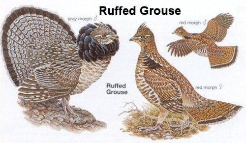 ruffed grouse web