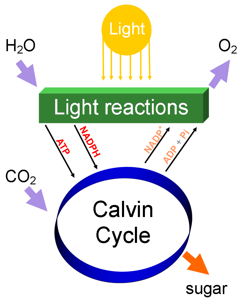 Sugar cane saccharum officinar photosynthesis diagram from wikimedia commons pooptronica Choice Image