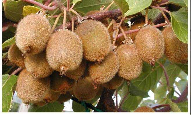 kiwifruit actinidia deliciosa home. Black Bedroom Furniture Sets. Home Design Ideas