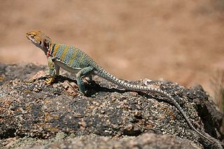 Asexual reproduction reptiles