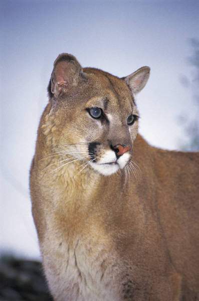 Mountain lion face - photo#26