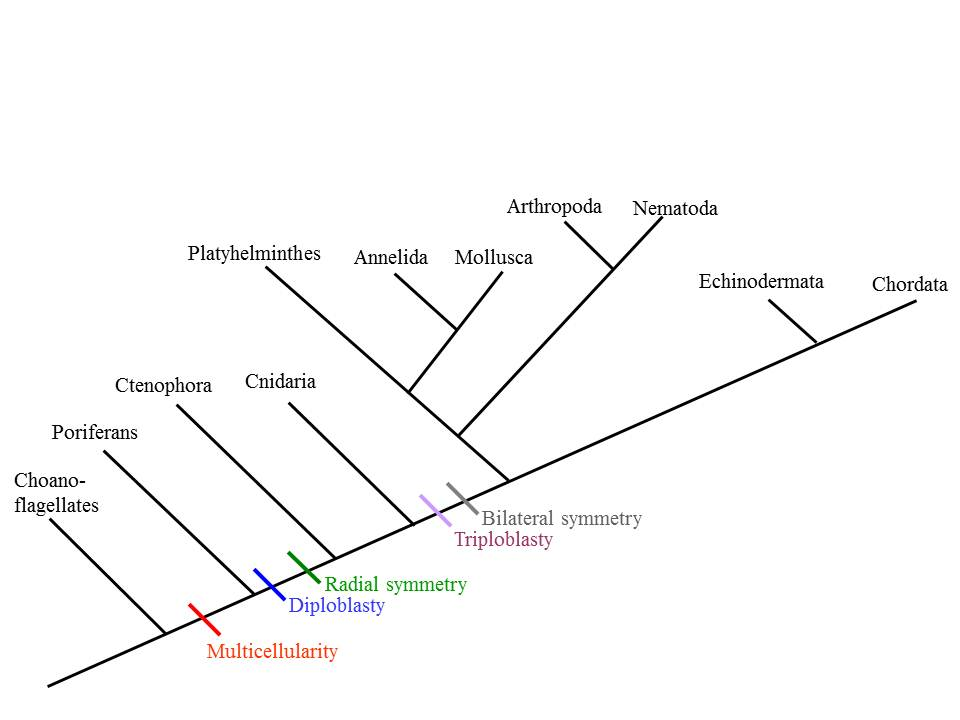 animal phylogenetic tree - photo #20