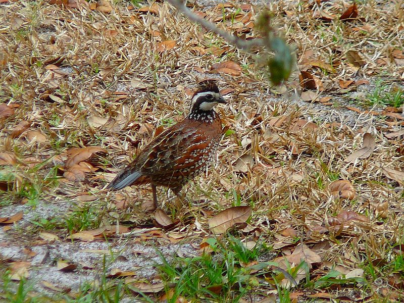 Bobwhite quail covey - photo#24