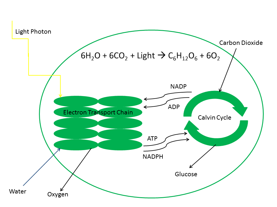 plant cell photosynthesis