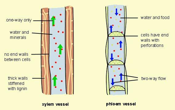 Xylem-and-Phloem jpgXylem And Phloem Tree