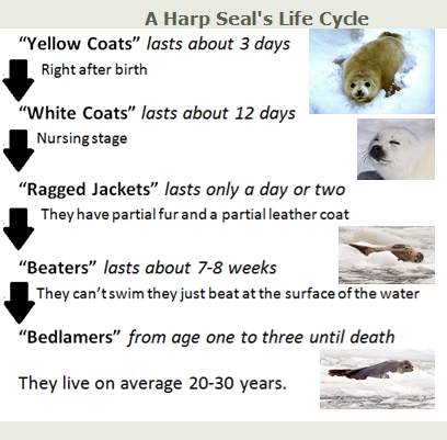 A Harp Seal's Life Cycle