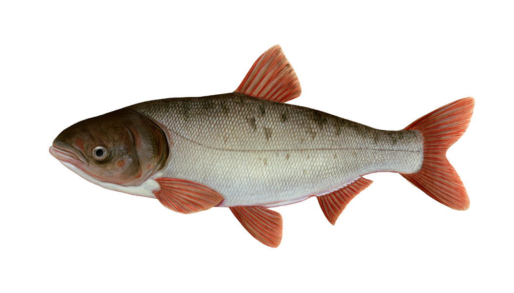 Hypophthalmichthys nobili, Bighead carp - Classifiication