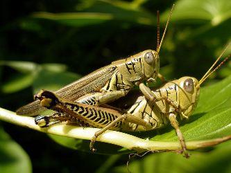 Grasshopper-Melanoplus...