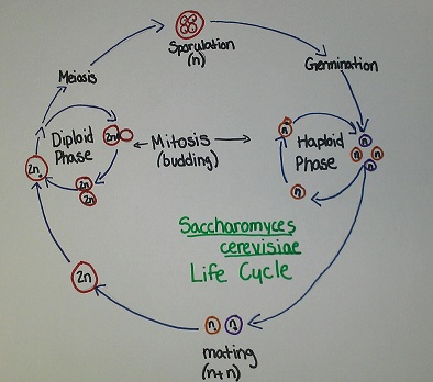 Detailed diagram bellow    Saccharomyces Cerevisiae Diagram