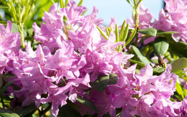 Classification Of Rhododendron Ponticum